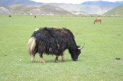 Yak in China Stock Photos