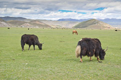 Yak in China Royalty Free Stock Image