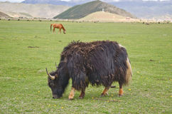 Yak in China Royalty Free Stock Photography