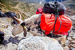 A Yak is climbing the mountain. A Yak Yak is climbing the mountain. It is the way to Mt. Makalu——The 5th highest mount of the world, part of Himalaya Royalty Free Stock Photography