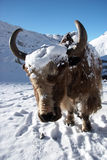 Yak close-up, Himalaya, Nepal Royalty Free Stock Images