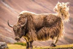 Yak cornuti enormi, Nepal Fotografia Stock