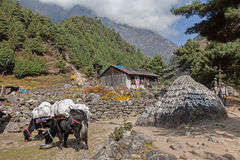 Yak Cow cross carrying packs Royalty Free Stock Images