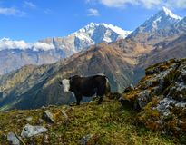 Yak cow on mountain of Annapurna, Nepal. Black yak cow on mountain of Annapurna Range of Nepal stock photography