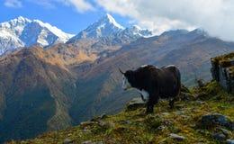 Yak cow on mountain of Annapurna, Nepal. Black yak cow on mountain of Annapurna Range of Nepal stock image