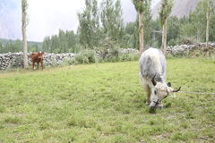 Yak and cow in the pastures Royalty Free Stock Image