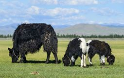 Yak cow with two calves Stock Images