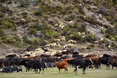 Yak crowd on field Stock Images