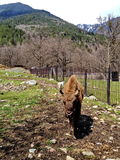 yak del bambino in una gabbia con un bisonte Fotografia Stock