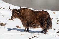 Yak di Brown sul fondo della neve Fotografia Stock