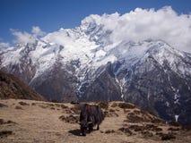 Yak, die auf Himalajaweiden weiden lassen Stockbilder