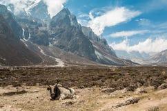 Yak, die in Everest Nepal stillstehen Stockbilder