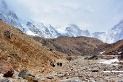 Yak drover with caravan of yaks on the way from Lobuche to Gorak. Shep. Trek to Everest base camp, Nepal Royalty Free Stock Photos