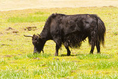 Yak eating grass Royalty Free Stock Images