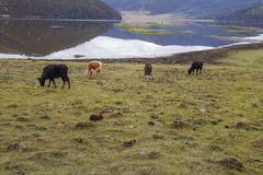 Yak eating grass on the lake side nature view in Pudacuo nationa Stock Photos