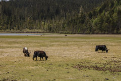 Yak eating grass nature view in Pudacuo national park in Shangri Royalty Free Stock Photos