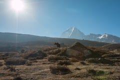 Yak  in Everest Base camp trek Stock Photos