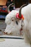 yak för white för sidosikt Royaltyfri Bild
