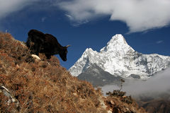 Yak facing Ama Dablam Royalty Free Stock Photo