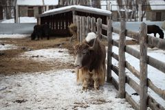 Yak in the fenced area in the local zoo.  Royalty Free Stock Images