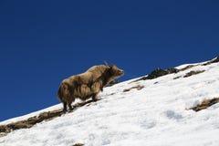 Yak från Nepal i den everest treken Royaltyfria Bilder
