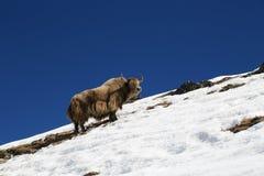 Yak från Nepal i den everest treken Arkivbilder