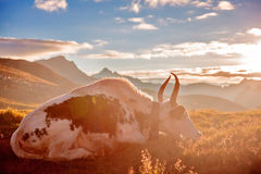 A Yak in front of snow mountain Stock Images