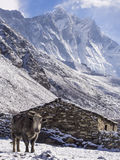 Yak in Front of Village House, Everest Region, Nepal Royalty Free Stock Photo
