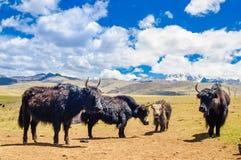 Yak goup before Mount Yala in the tibetan highlands. View on Yak goup in the tibetan highlands Stock Photography