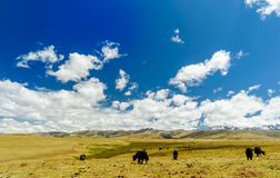 Yak goup in the tibetan highlands Royalty Free Stock Images