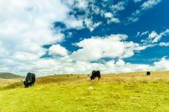 Yak goup in the tibetan highlands Stock Photos