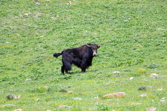Yak on the grass. Yak on the green grass in the mountains Royalty Free Stock Image