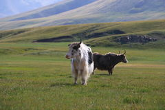 Yak on the grass Royalty Free Stock Images