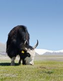 The yak Royalty Free Stock Photography