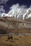 Yak grazing Chyungma Pass royalty free stock photography