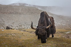 Yak grazing in Himalayas Royalty Free Stock Images