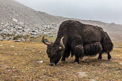 Yak grazing in Himalayas Stock Photo
