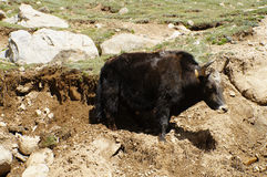 Yak grazing in Himalayas,Ladakh, India Royalty Free Stock Photo