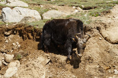 Yak grazing in Himalayas. Ladakh, India Royalty Free Stock Image