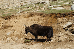Yak grazing in Himalayas. Ladakh,  India Royalty Free Stock Images