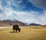 Yak grazing in Himalayas Stock Photos