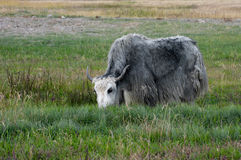Yak grazing in meadow Stock Photo