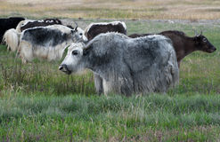Yak grazing in meadow Stock Image
