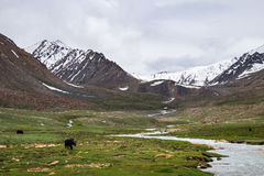 Yak grazing in the meadow in Leh district in Ladakh, India Royalty Free Stock Images