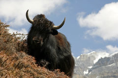 Yak grazing on a slope Royalty Free Stock Images
