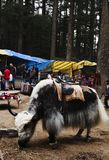 Yak grazing with tourists shopping in the street market, Manali, Royalty Free Stock Photography