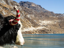 Yak head in front of Tsongmo mounain lake at sunny day. Stock Image
