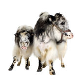 Yak and her calf Stock Photography