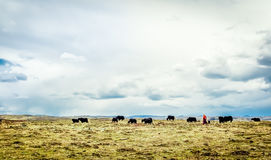 Yak herd and nomad in the tibetan highlands Stock Photography