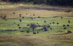 Yak herd on the plateau pasture royalty free stock photography